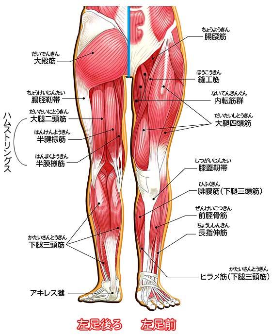 脚の筋肉の詳細図