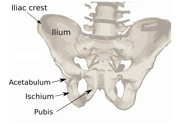 骨盤のイメージ図
